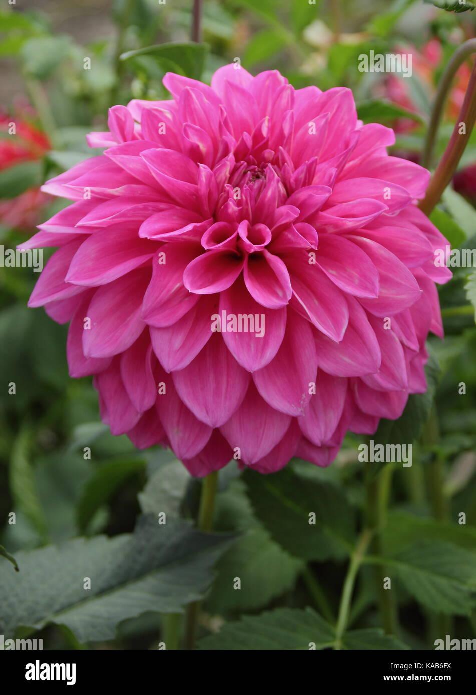 Bargaly Blush Dahlie in voller Blüte in einem Englischen Garten im Spätsommer Stockbild