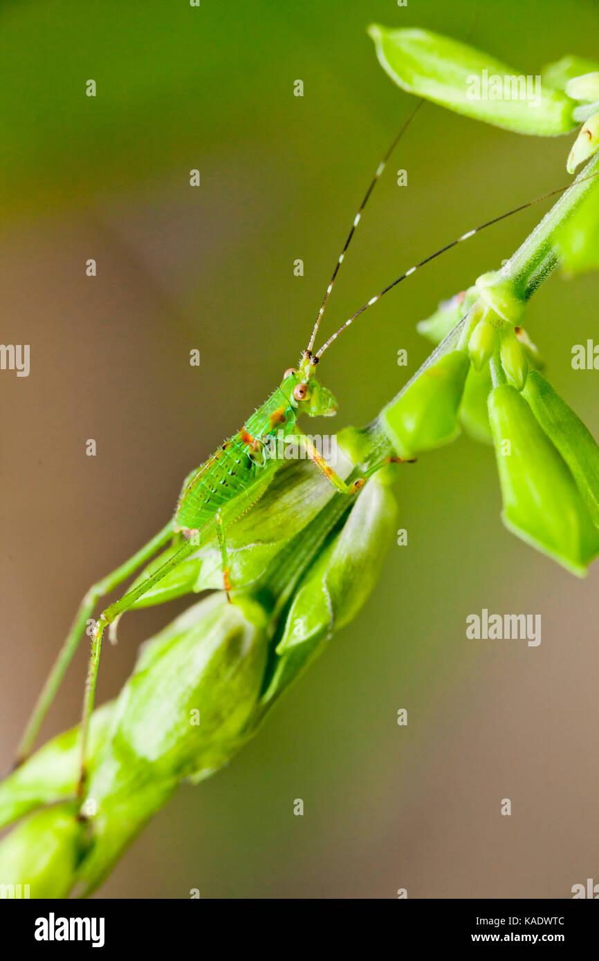Katydid Nymphe, aka Bush Cricket, lange-horned Grasshopper (tettigoniidae) - USA Stockbild