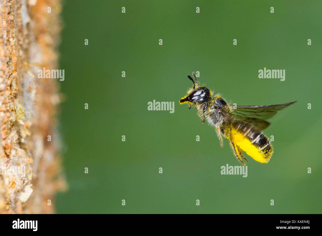 Große Scissor-Biene (Chelostoma florisomne) im Flug am Eingang des nest Loch mit einer Last von Pollen. Powys, Stockbild