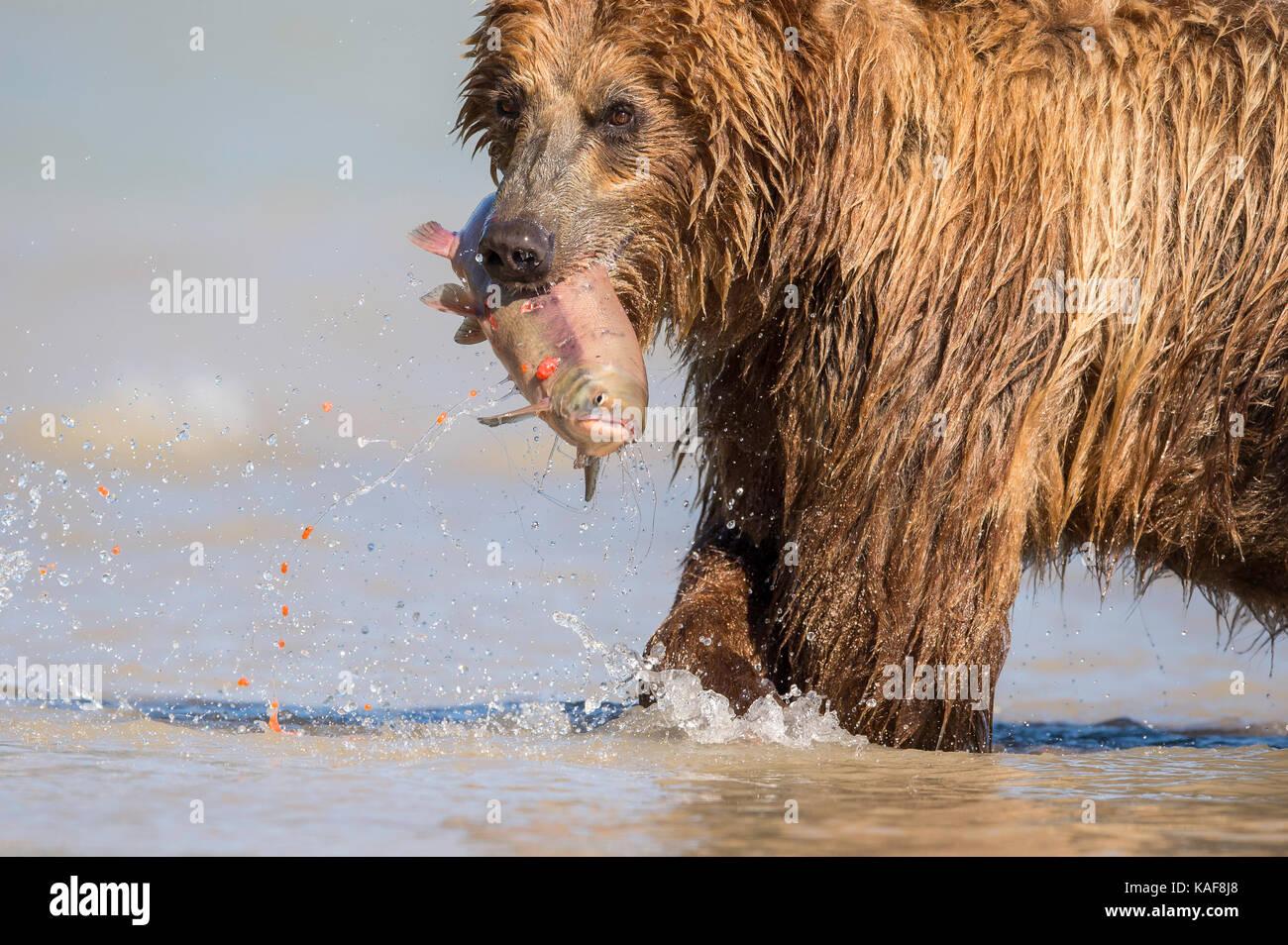Brauner Bär Fütterung auf sockeye Lachse, Kamtschatka, Russland. Stockfoto