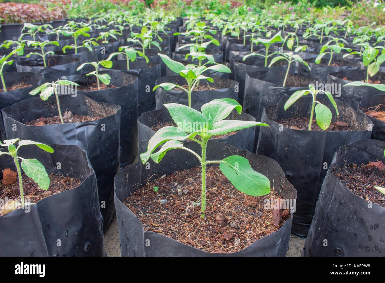 Sämlinge, die Anpflanzung von Sonnenblume gesund vorbereiten, vor dem Einpflanzen. Stockbild