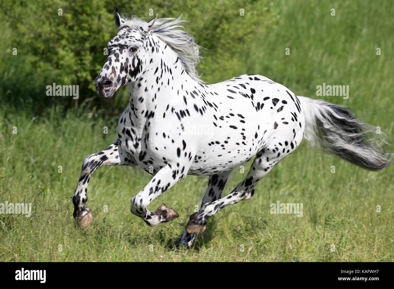 Knabstrupper Pferd