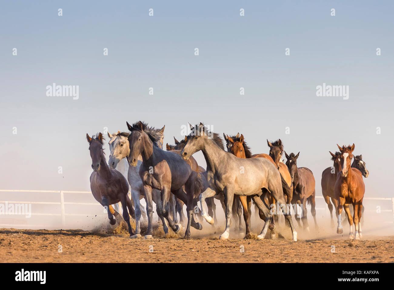 Reine Spanische Pferd, Andalusische. Herde von Jugendlichen Hengste gallopieren auf trockenem Boden. Spanien Stockbild