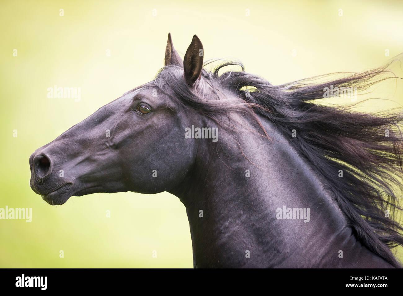 Reine Spanische Pferd, Andalusische. Schwarzer Hengst Galopp auf einer Weide, Portrait. Österreich Stockbild