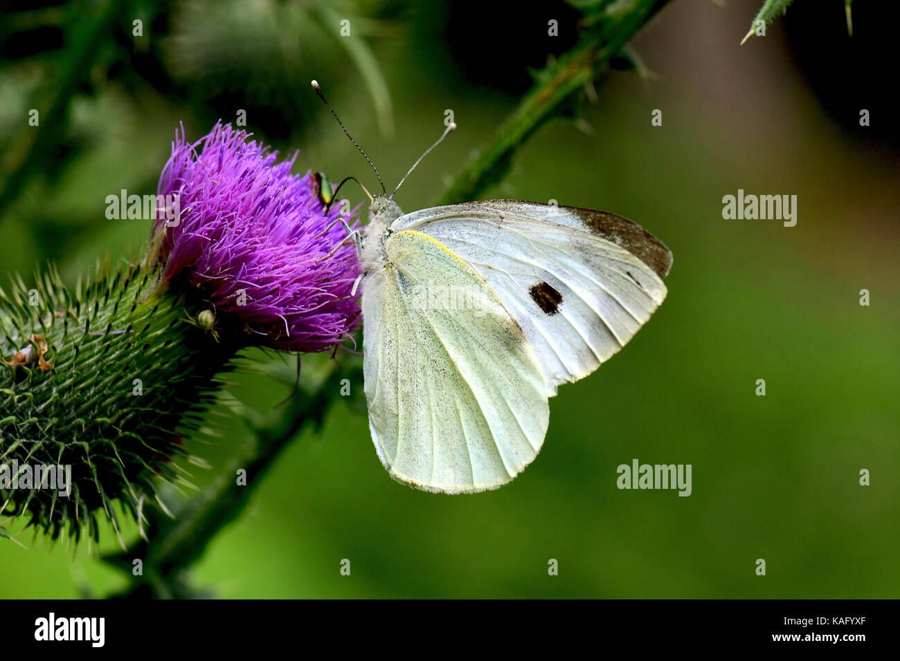 Große Weiße (Pieris rapae), saugen Nektar von Blüten Distel (Cirsium sp.). Stockfoto