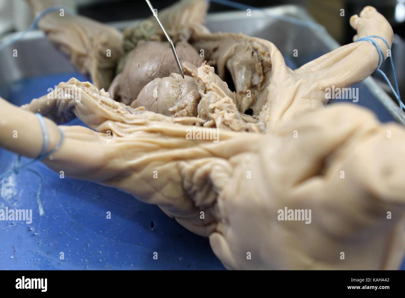 Fetal Pig Stockfotos & Fetal Pig Bilder - Alamy