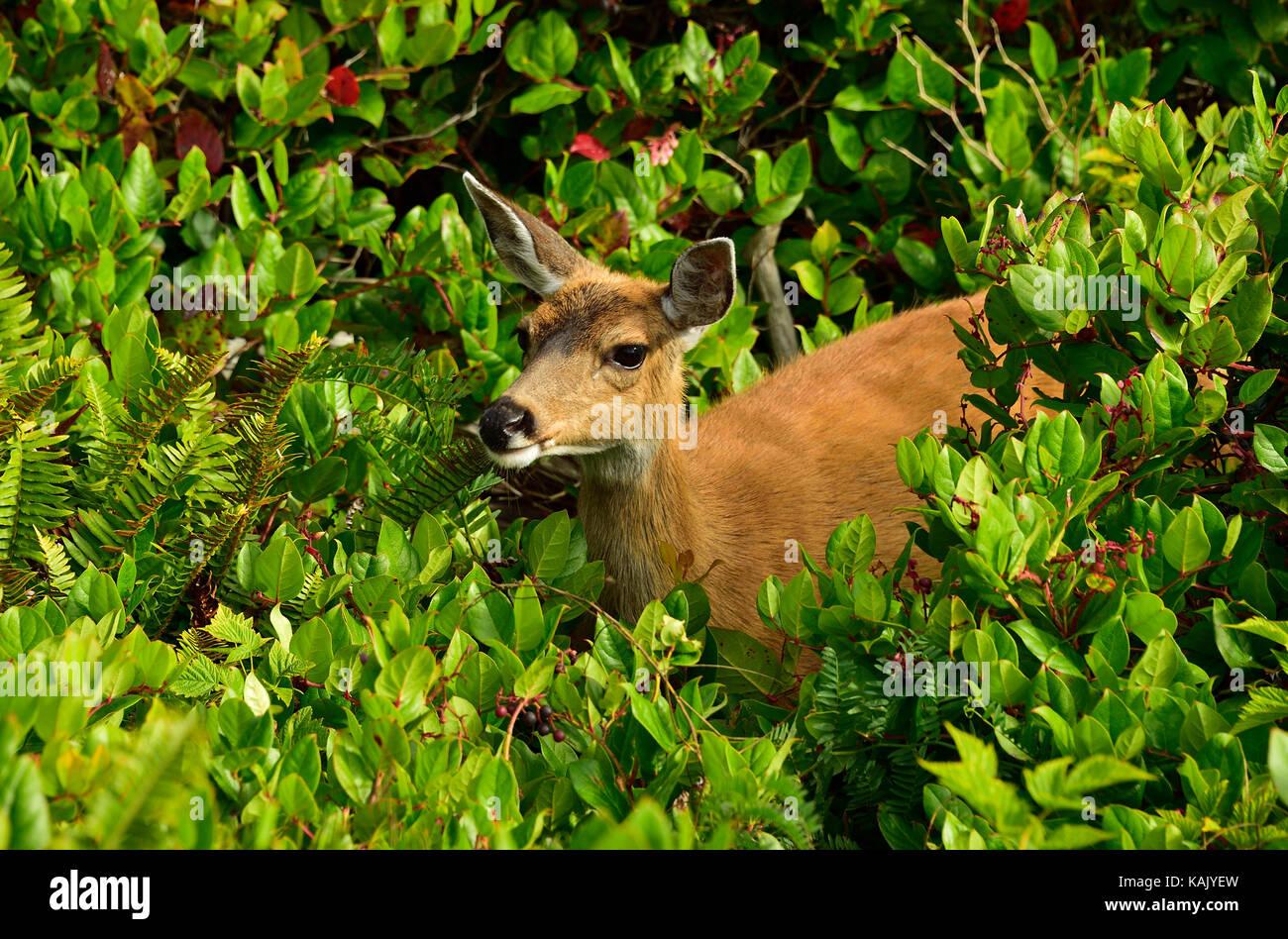 Eine wilde weiblich Black-tailed deer (Odocoileus hemionus columbianus); Nahrungssuche durch die schwere Vegetation Stockbild