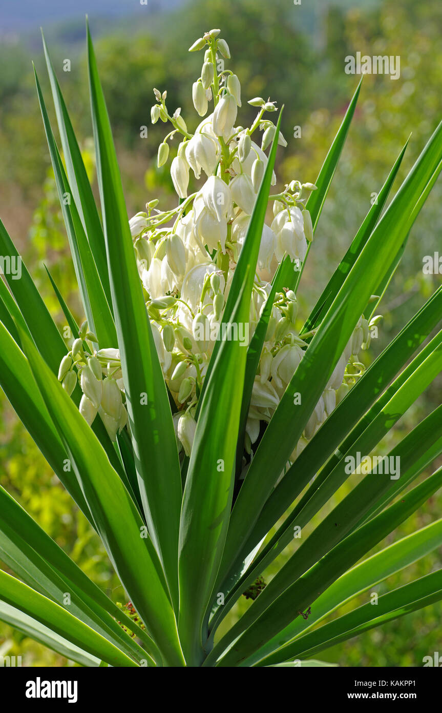 Yucca sp., Familie Asparagaceae, unterfamilie Agavoideae Stockbild