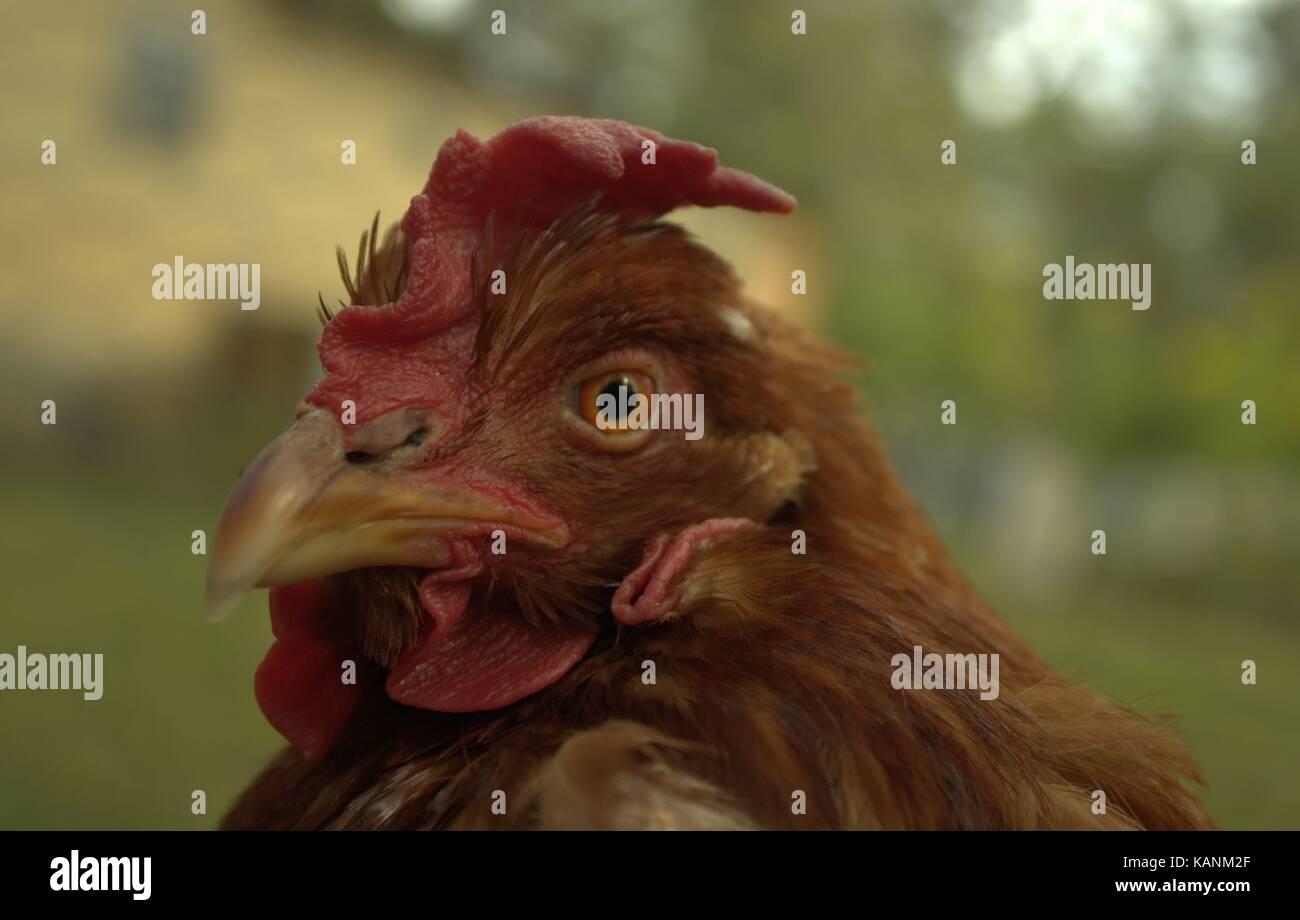 Martha, Mein älterer Bürger Rhode-island Red Hen Stockbild