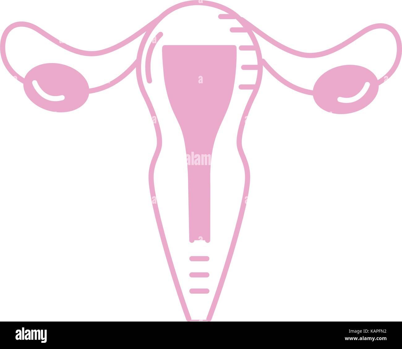 Silhouette Gebärmutter Eileiter Anatomie Weibchen Vektor Abbildung ...