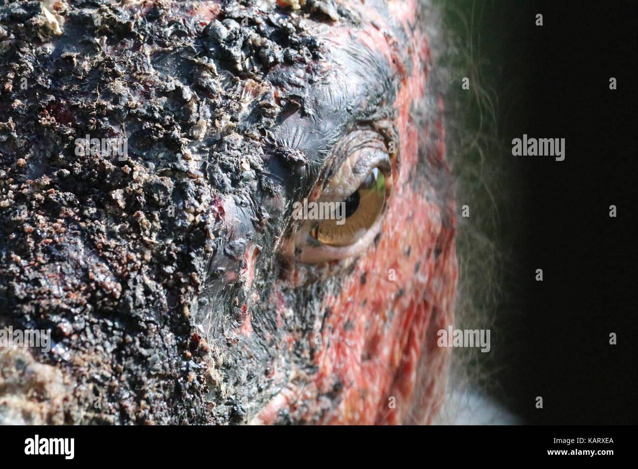 Extreme close-up von Marabu - Sweetwaters - Ol Pejeta Conservancy - Kenia Stockbild
