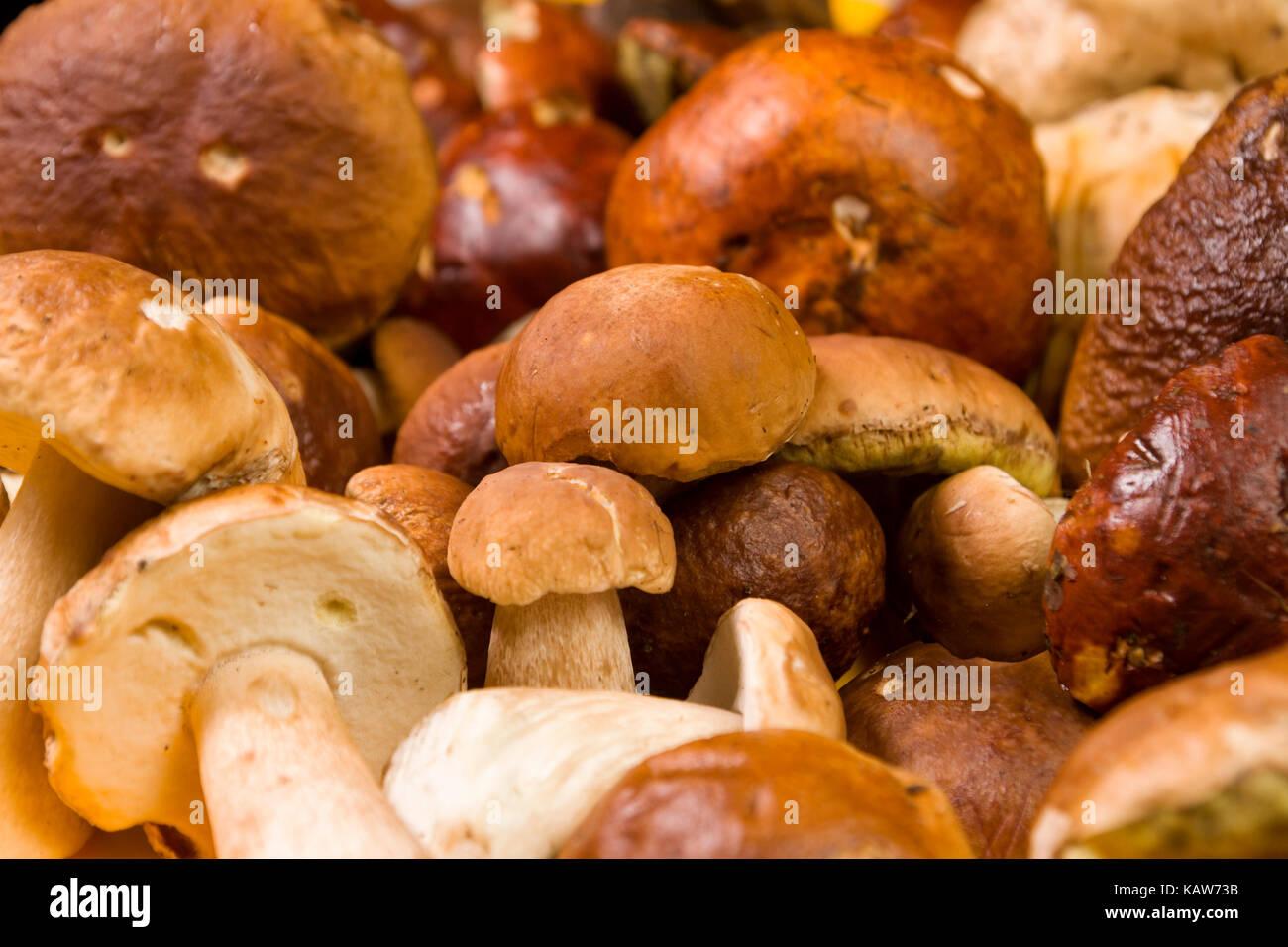 Frisch geerntete Steinpilzen Hintergrund. Essbare Pilze. Selektiver Fokus Stockbild