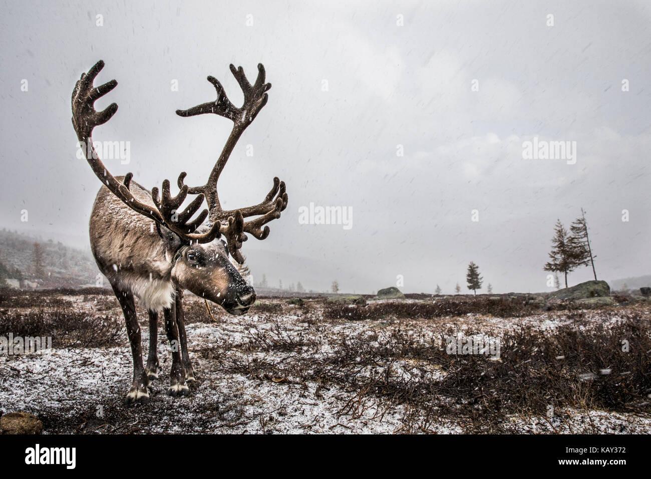 Rentier in einem Schnee im Norden der Mongolei Stockbild