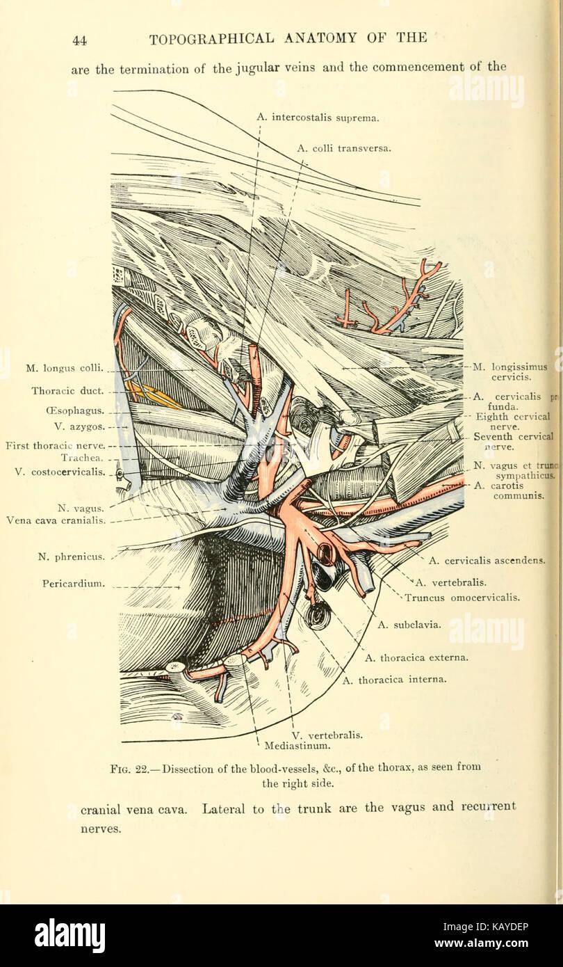 Wunderbar Menschliche Anatomie Thorax Bilder - Anatomie Ideen ...