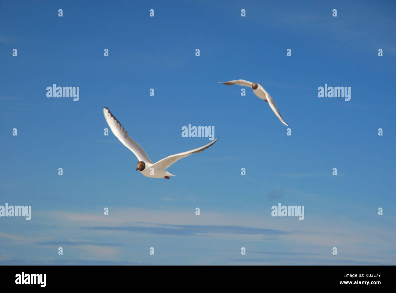 Ornithologie, Sea Bird, black-headed Möwen, Flug Stockbild