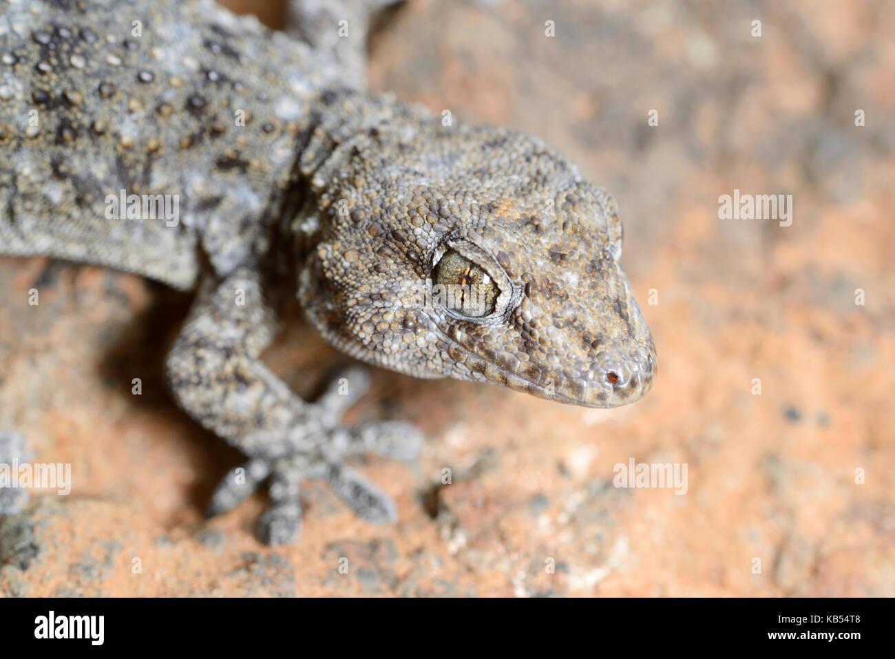 Teneriffa Gecko (Tarentola delalandii) liegt auf einem Felsen, Spanien, Teneriffa Stockbild