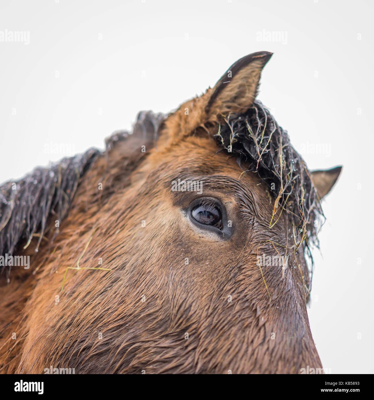 Islandpferd in einem Schneesturm, Island Stockfoto