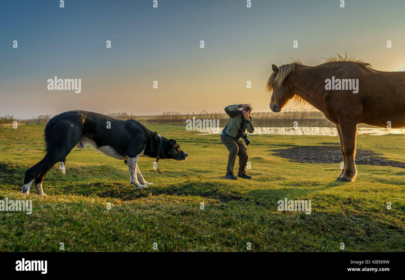 Touristen, die Bilder von einem isländischen Pferd während ein Hund sich nähert, Island. Stockbild