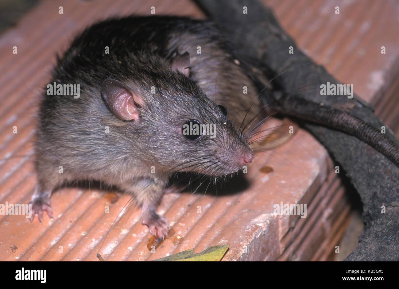 Schwarze Ratte, Rattus Rattus. Auf der Suche nach Nahrung in der Mitte der Papierkorb. Ratten dienen als herausragende Stockbild
