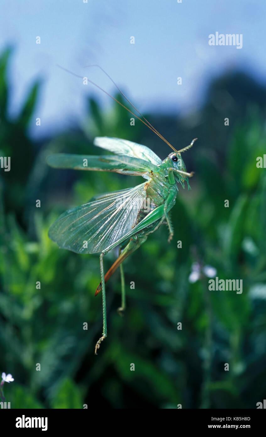 Super Green Bush - Kricket, Tettigonia Viridissima. Nach weiblichen Fliegen. Beachten Sie die große Ei - Festlegung Stockbild