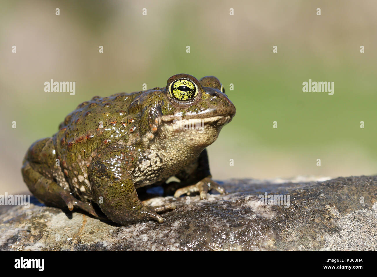 (Epidalea calamita Natterjack toad) Stockbild