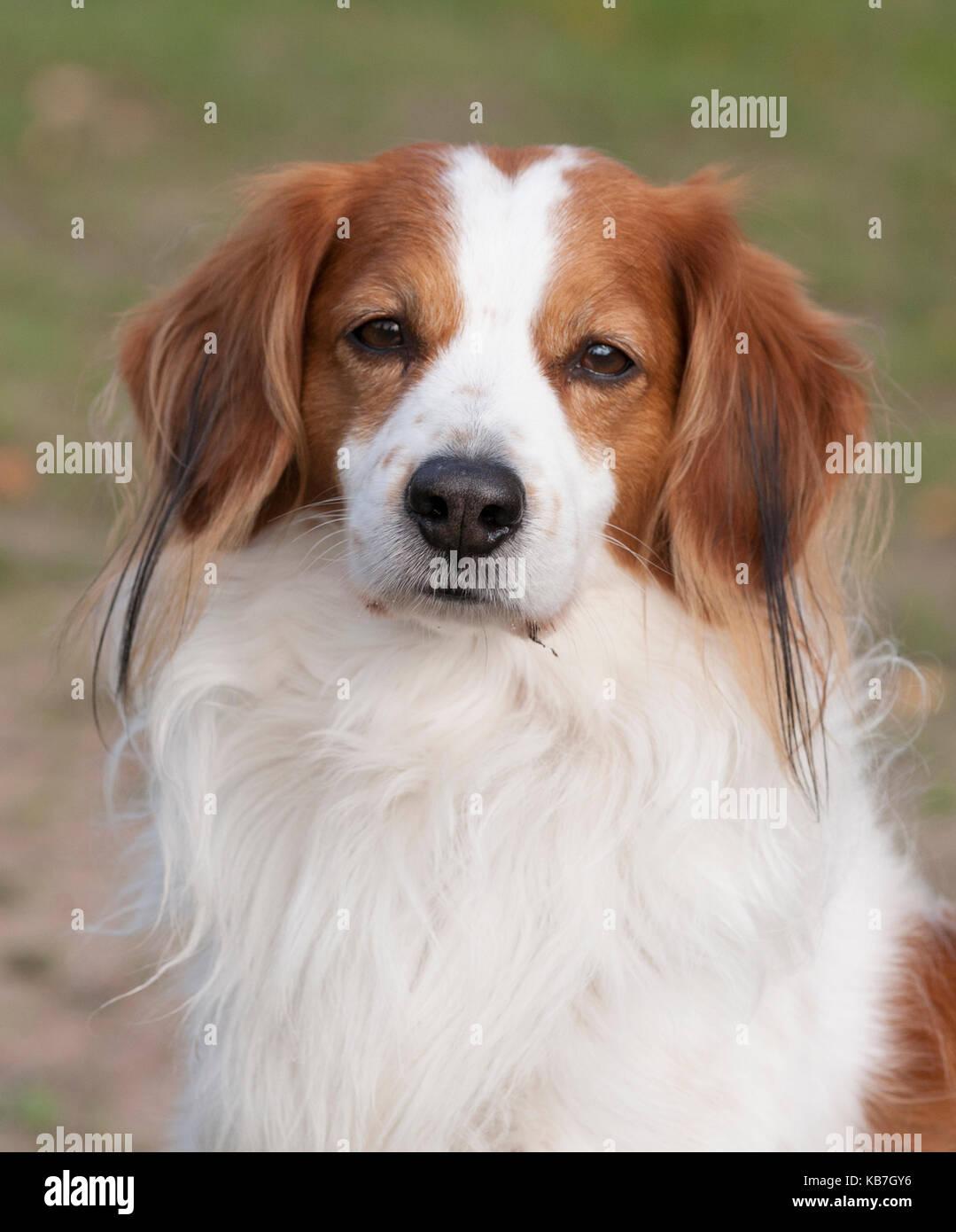 Das Kooikerhondje 2017 ist ein spaniel Art Hund holländischer Abstammung Stockbild