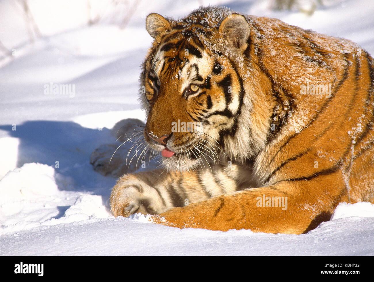 Russland. Tierwelt. Sibirische Tiger im Schnee. Stockbild