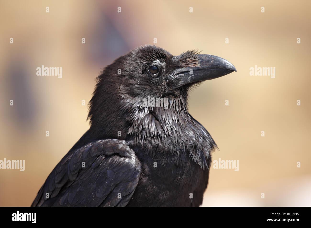 Raven, Corvux Coral, auf der Insel Fuerteventura auf den Kanarischen Inseln Stockbild