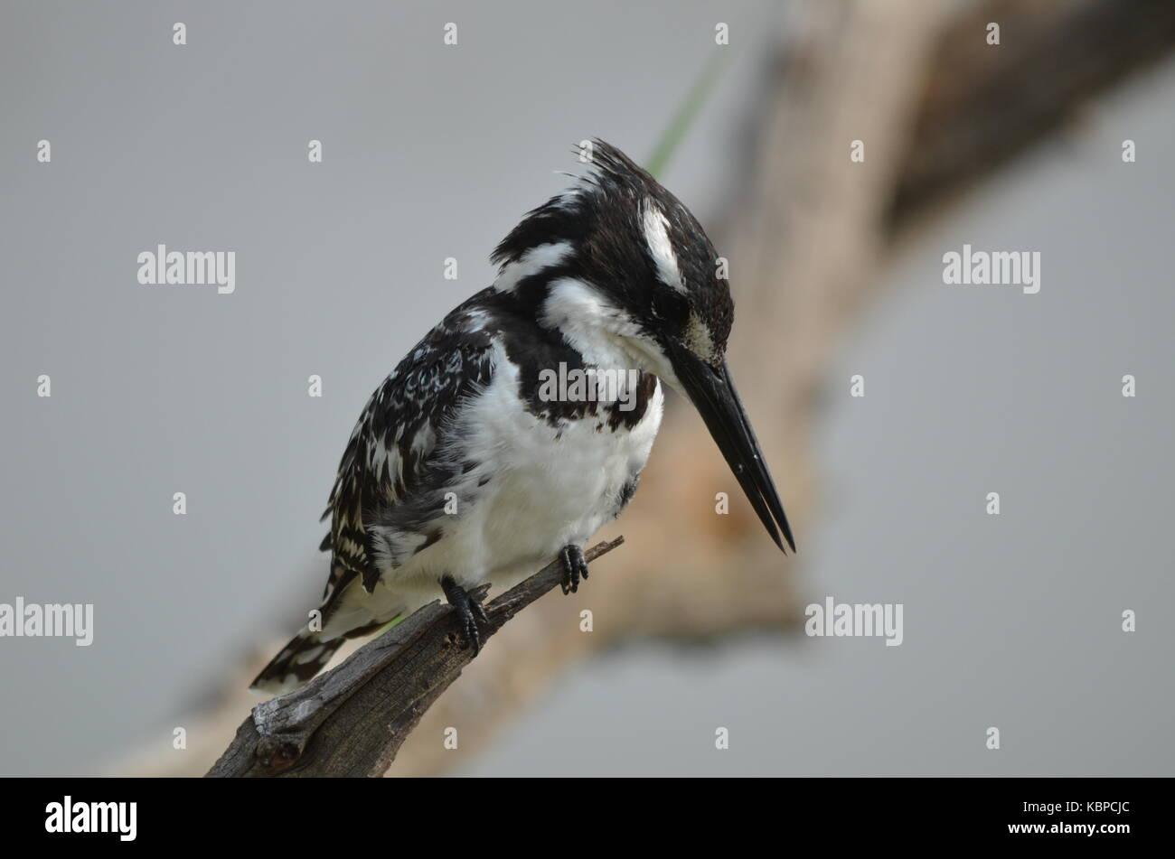 Pied Kingfisher (ceryle Rudis) auf einem Zweig in Pilanesberg - Südafrika gehockt Stockbild