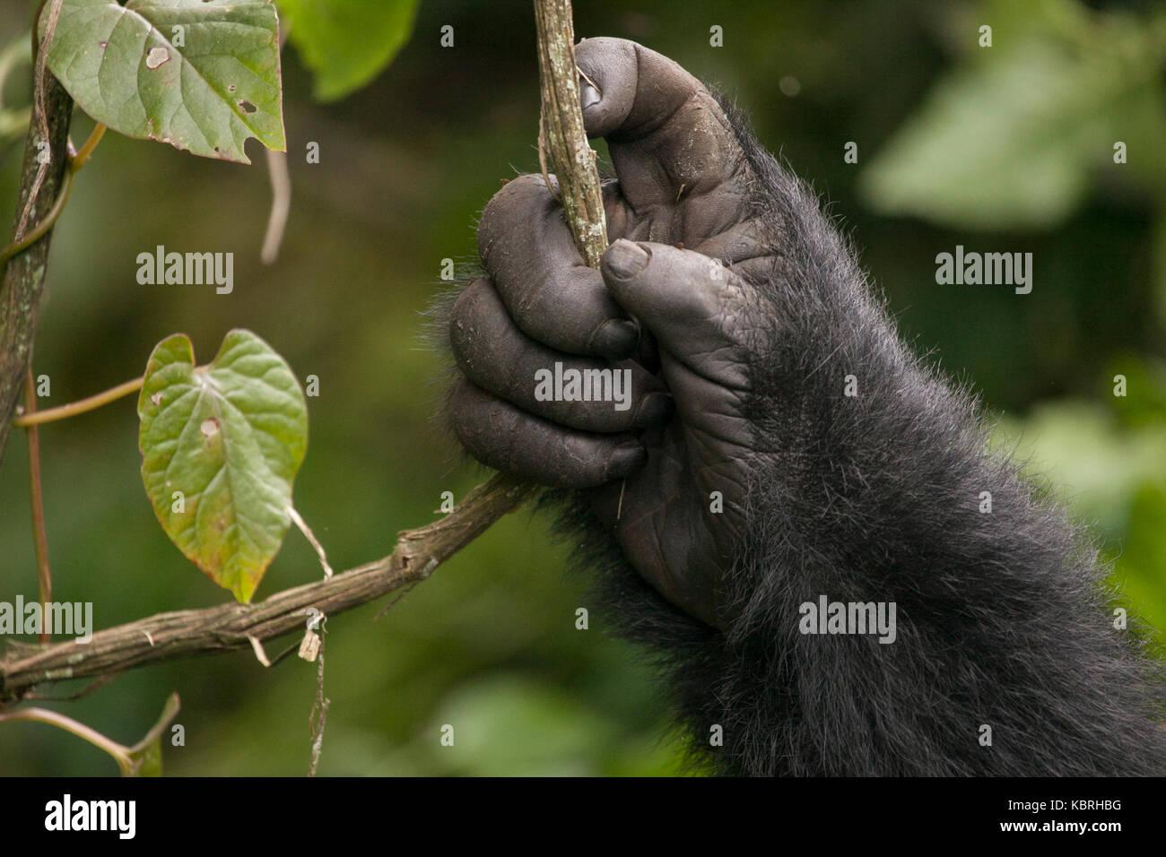 Mountain Gorilla im Dschungel von Ruanda. Volcanoes National Park. Stockfoto