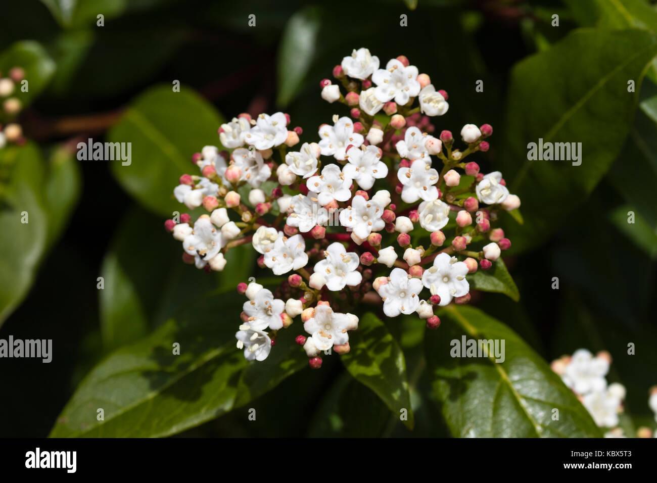 Weiß Herbst Blumen Der laurustinus winterharte immergrüne Strauch