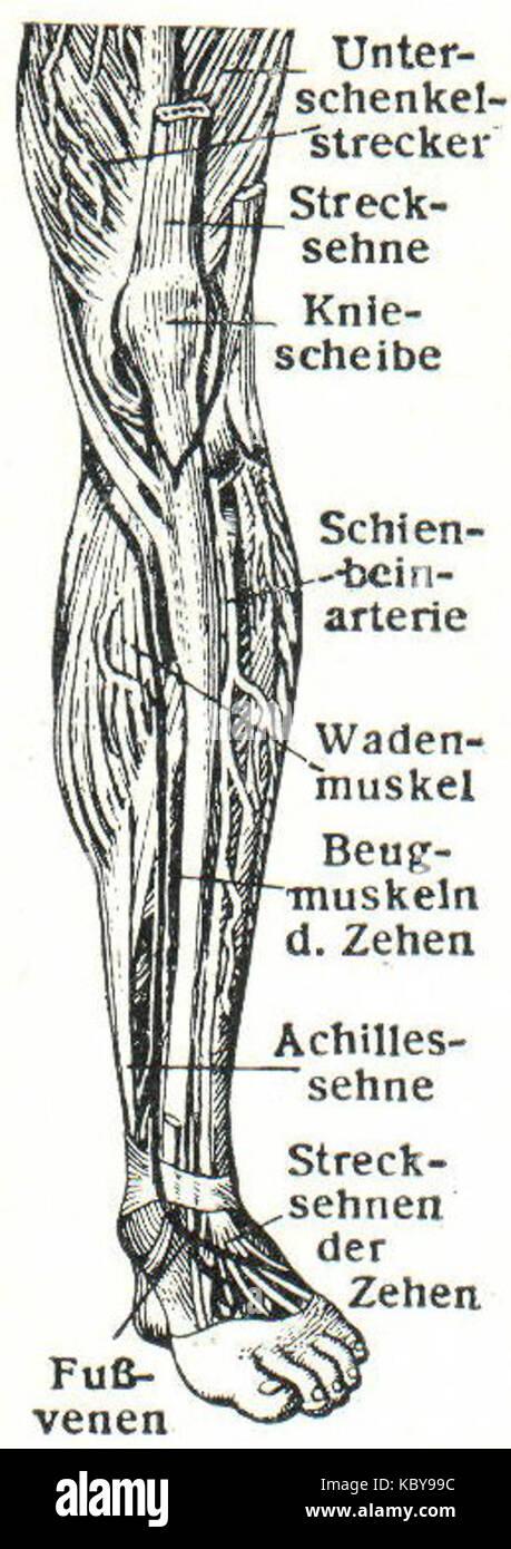 Groß Tiefe Venen Bein Anatomie Ideen - Menschliche Anatomie Bilder ...