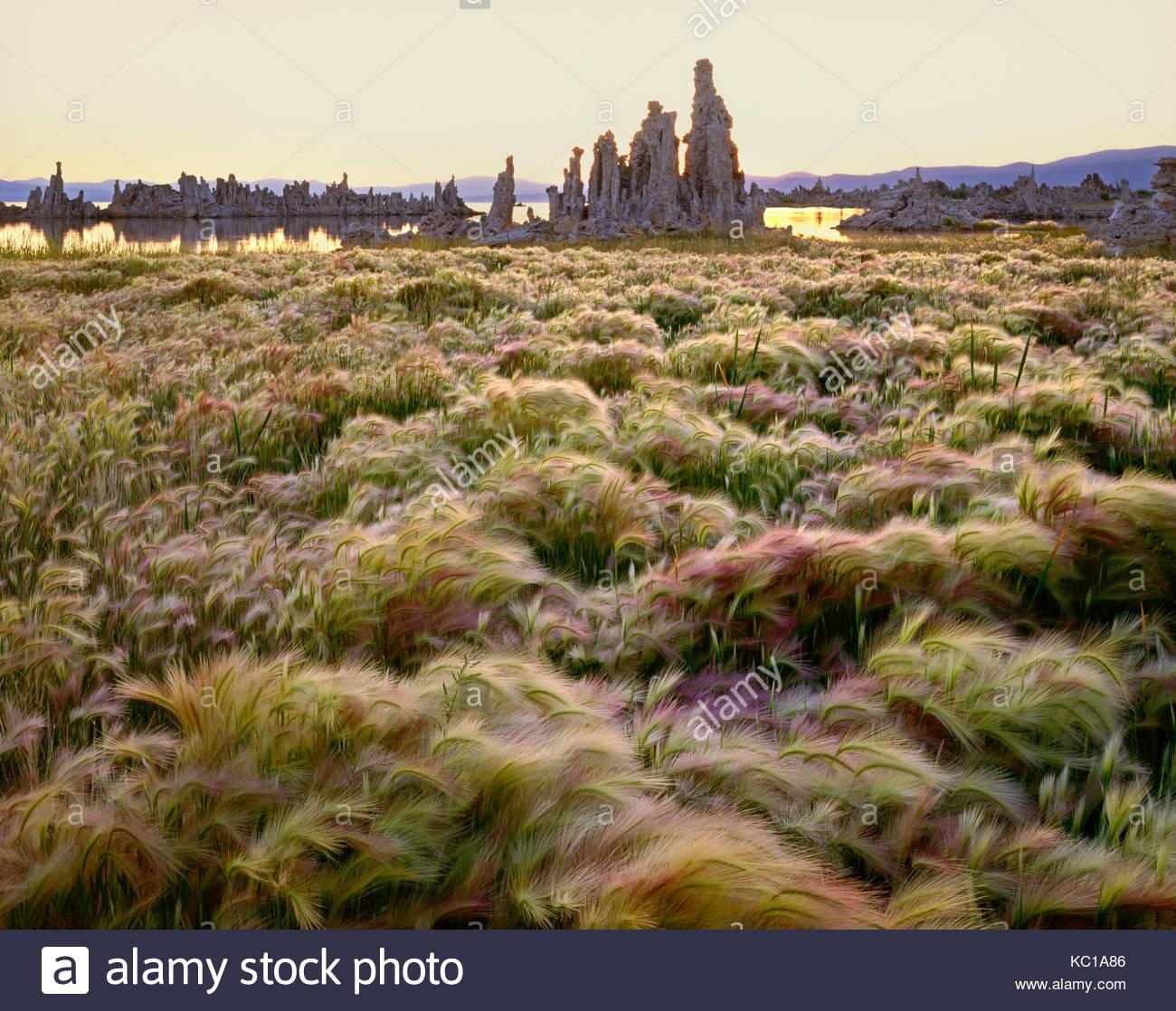 Gerste und Tuffstein bei Sonnenaufgang, Mono Lake, Kalifornien Stockbild