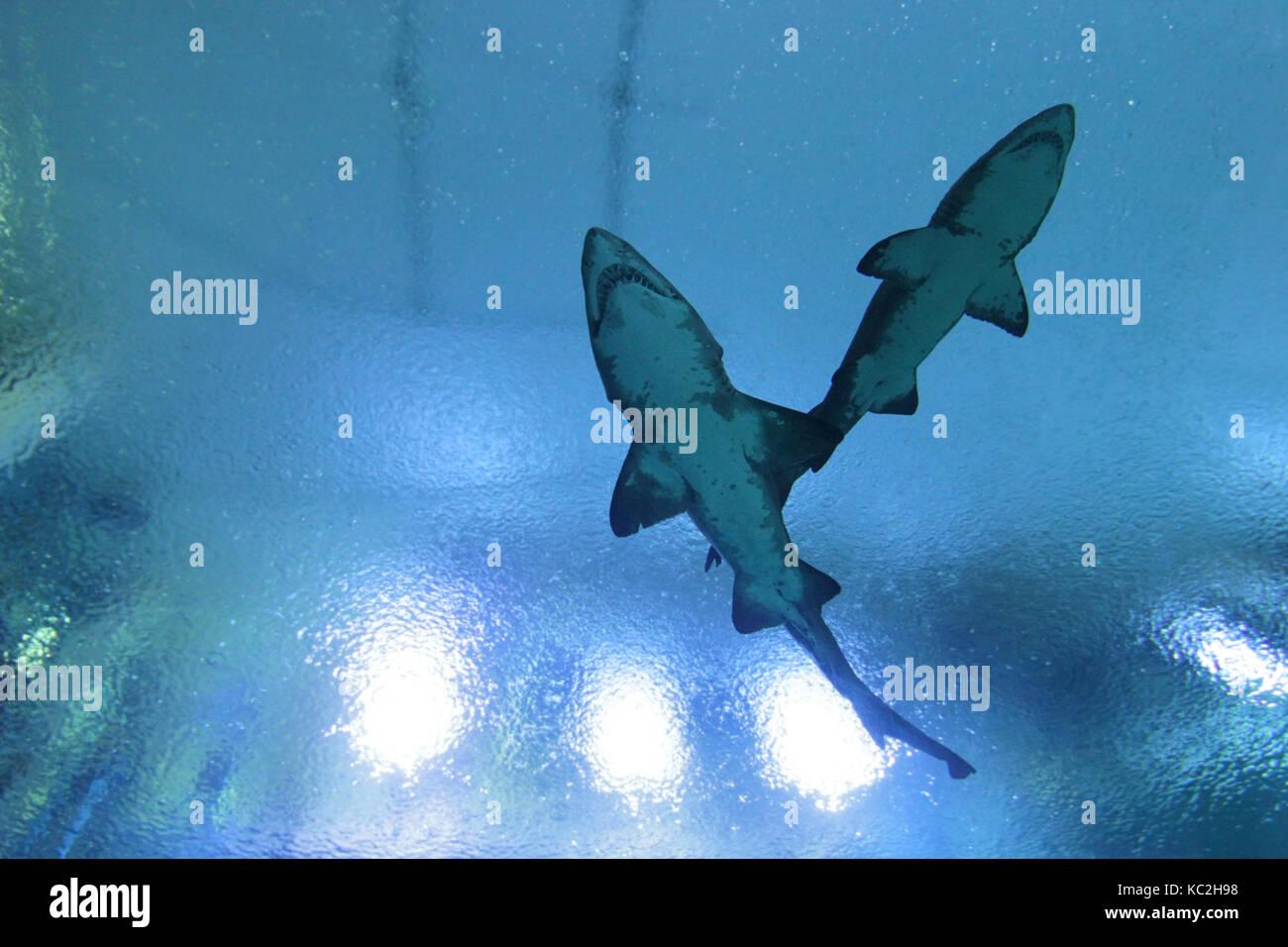 Ziemlich Realistische Großen Weißen Hai Malvorlagen Bilder ...