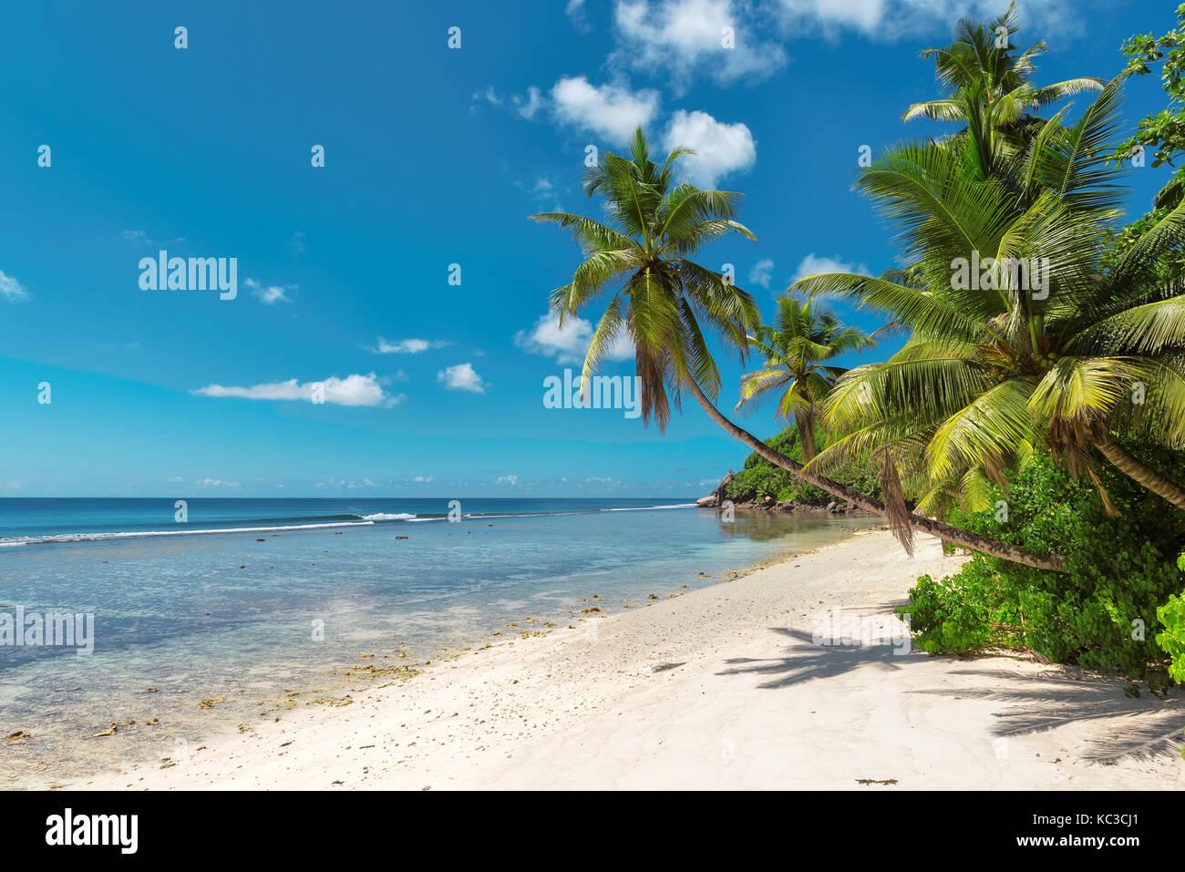 Kokosnuss Palmen am weißen Sandstrand auf den Seychellen. Stockbild
