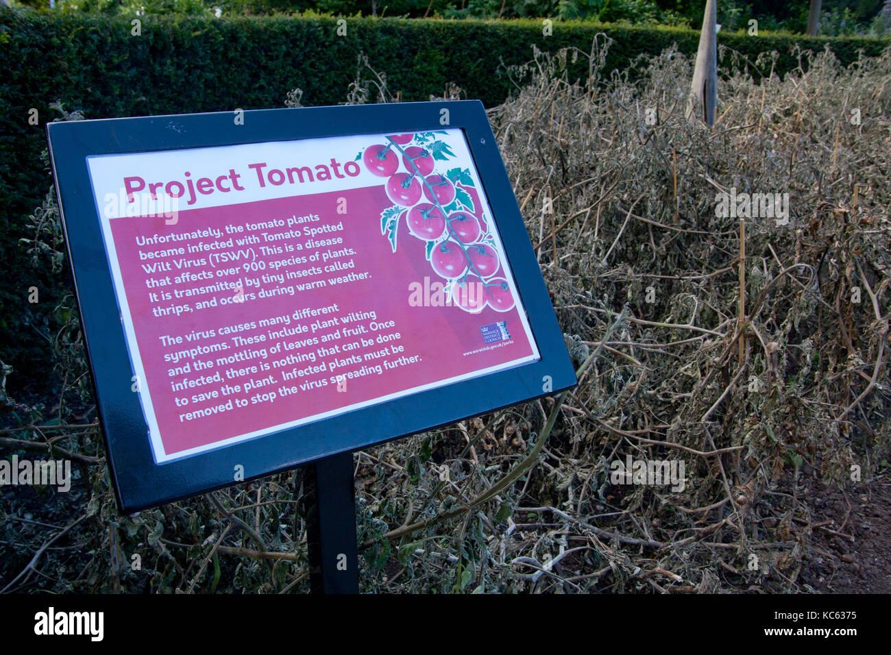Projekt Tomate, Tomaten von Tomato spotted wilt Virus infiziert (TSWV) verursacht durch Thrips Stockbild