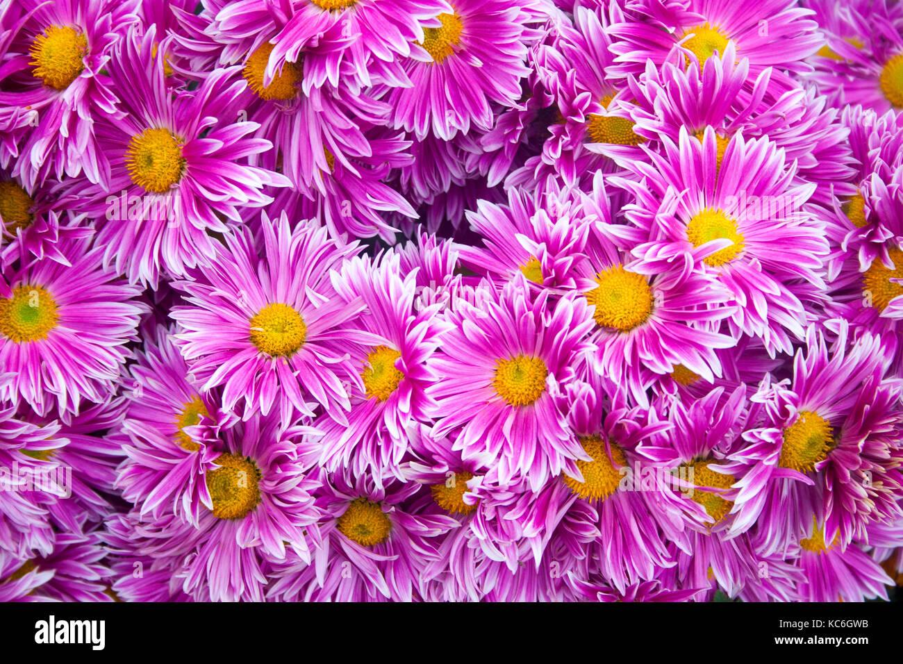 Schöne Rosa Chrysanthemen Als Hintergrund Bild Chrysantheme