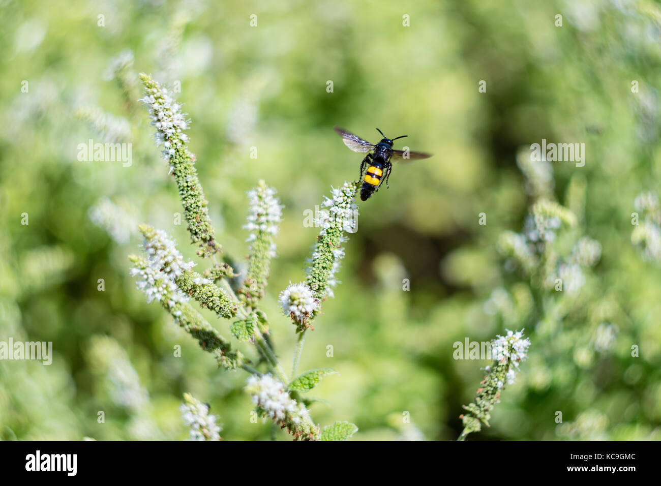 Flying insect stockfotos flying insect bilder alamy for Blumen fliegen