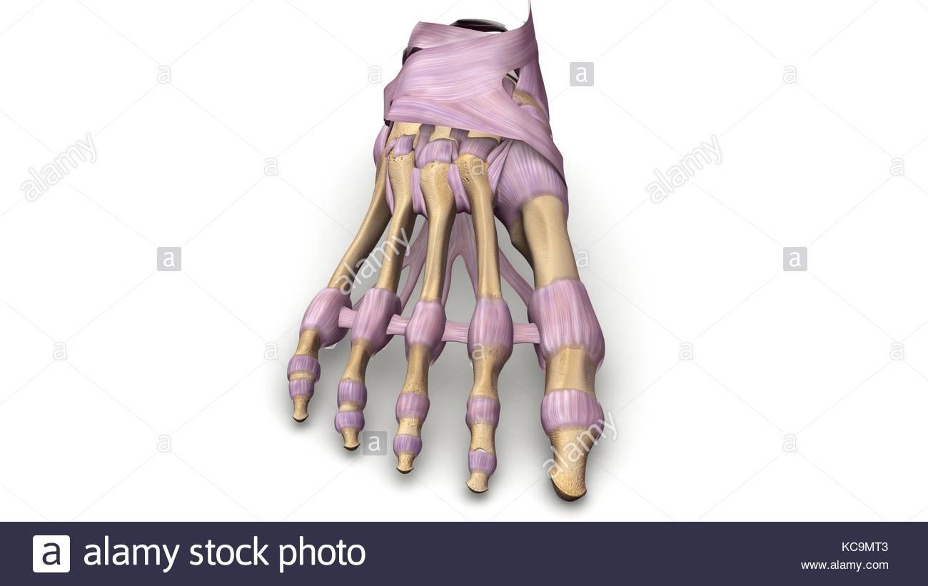 Beste Knochen Arm Zeitgenössisch - Anatomie Ideen - finotti.info