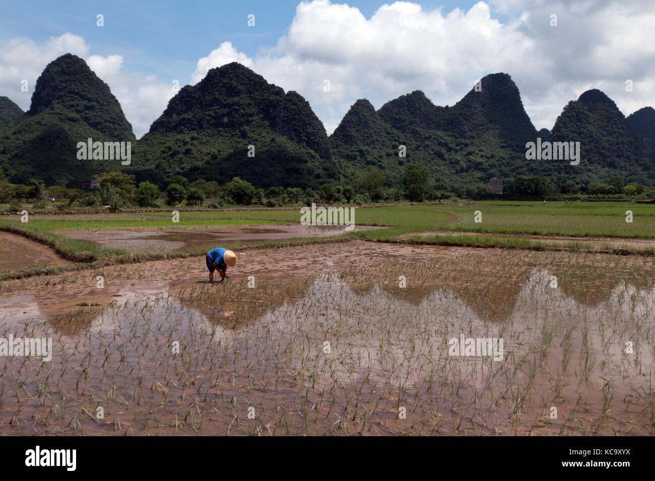 Mann bei der Arbeit als Bauer im Reisfeld, pflanzen Reis pflanzen in Yangshuo Landschaft, Guangxi, China, Asien. Stockfoto