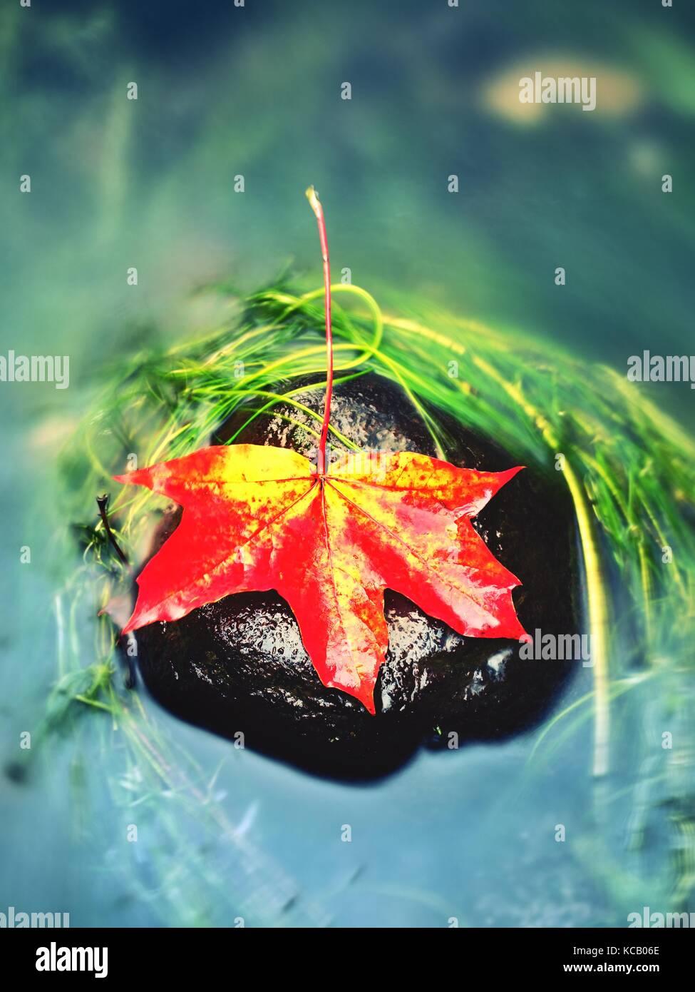 Gelb Orange Maple Leaf auf lange grüne Algen Stein gefangen. Farbenfrohe Symbol der kommenden Herbstsaison. Stockbild