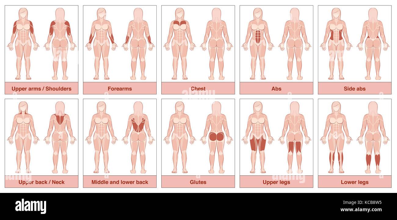 Muskelgruppe Diagramm - weibliche Körper mit der größten ...