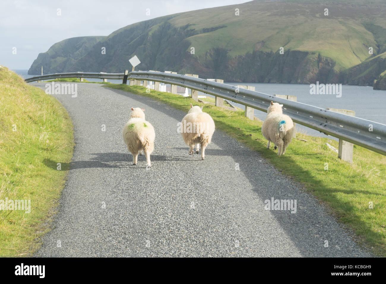 Drei Schafe laufen entlang der Straße in Unst, Shetlandinseln, Schottland, Großbritannien Stockbild