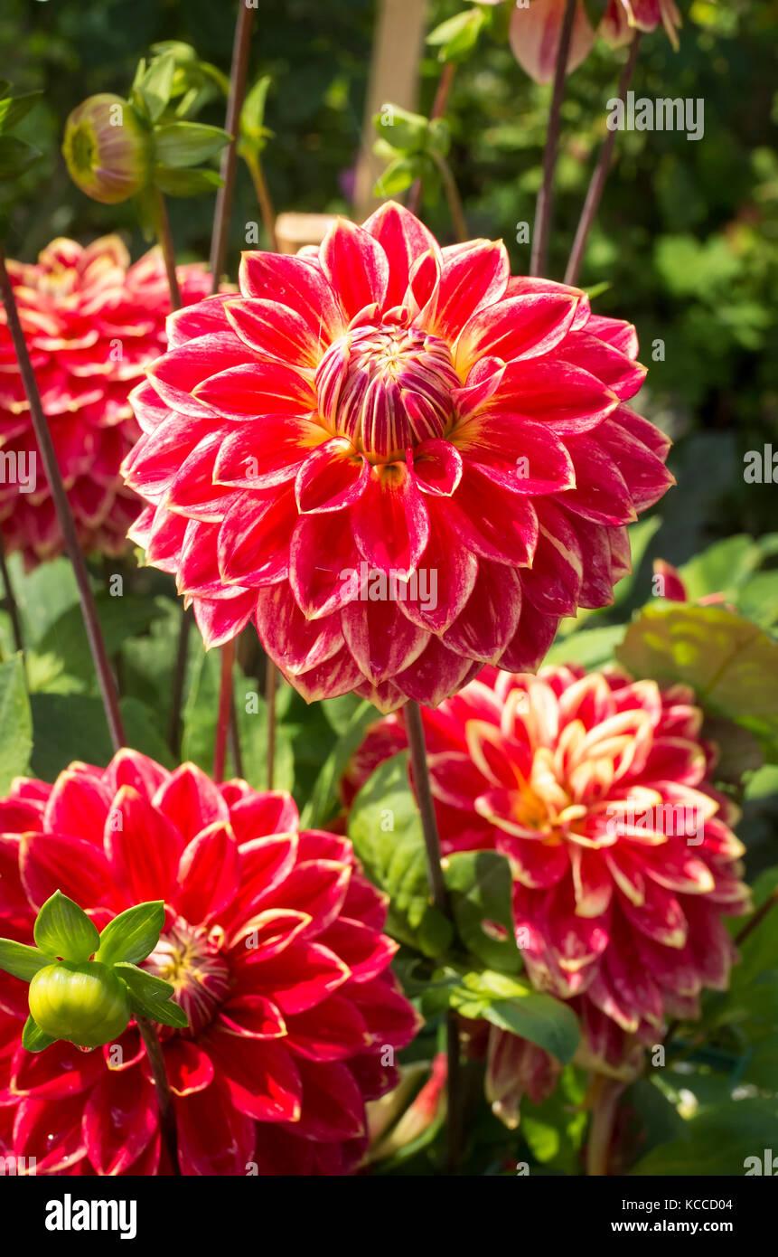 Dekorative Dahlie Herr Optimist Blüte in Großbritannien Stockbild