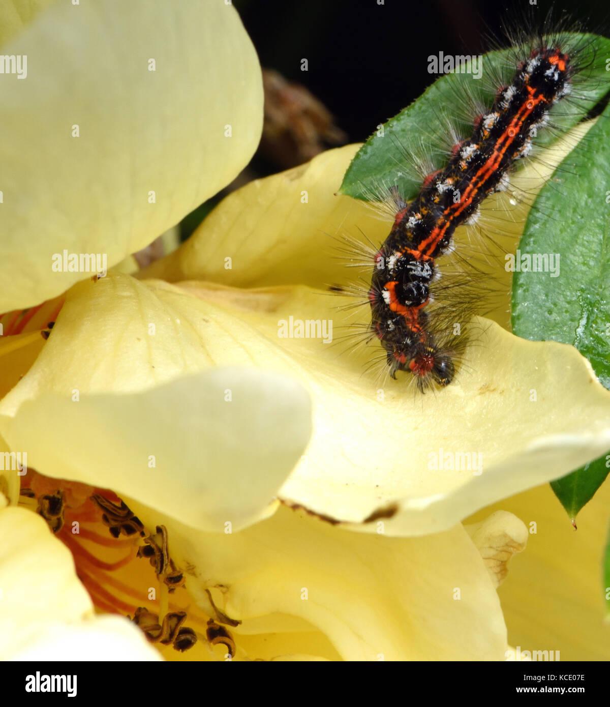 Lava, Caterpillar eines gelb-Schwanz, goldtail Motten oder Schwan Motte (Euproctis Imilis) Fütterung auf eine Stockbild