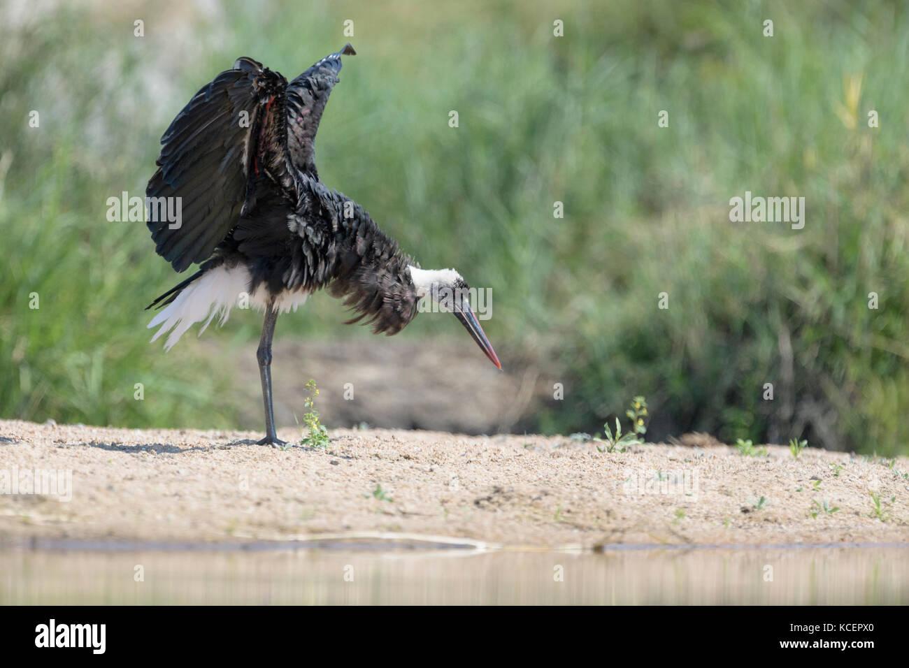 Woolly-necked Stork (Ciconia episcopus) schüttelte seine Flügel, Krüger Nationalpark, Südafrika Stockbild