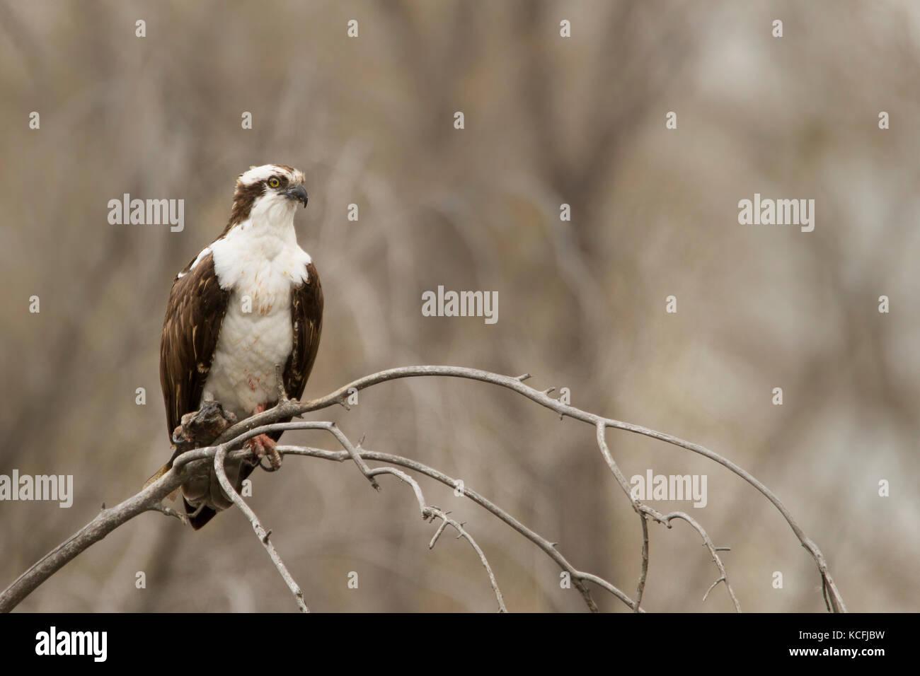 Osprey Great Basin Wüste Tour Washington United States Stockfoto