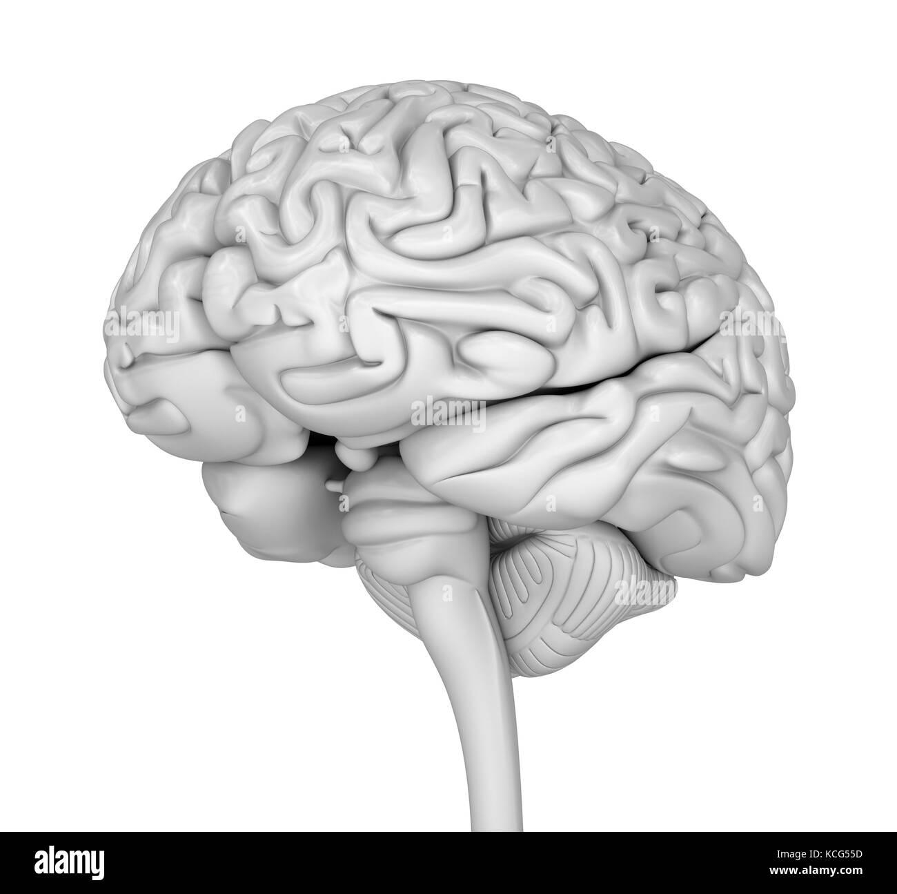 Großzügig Gehirn Anatomie 3d Modell Galerie - Menschliche Anatomie ...