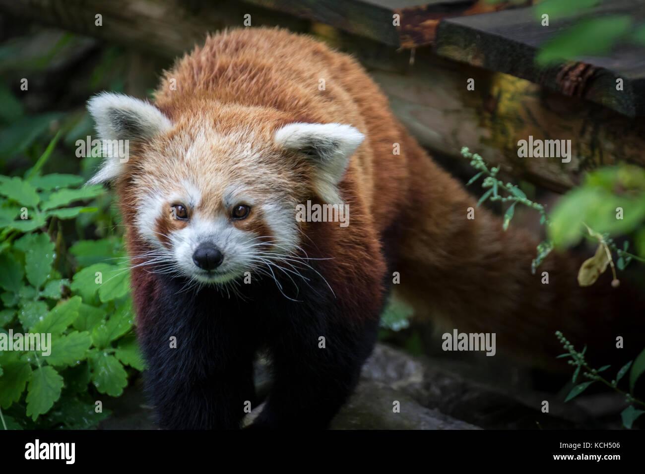 Red Dwarf chinesischen Panda Stockbild