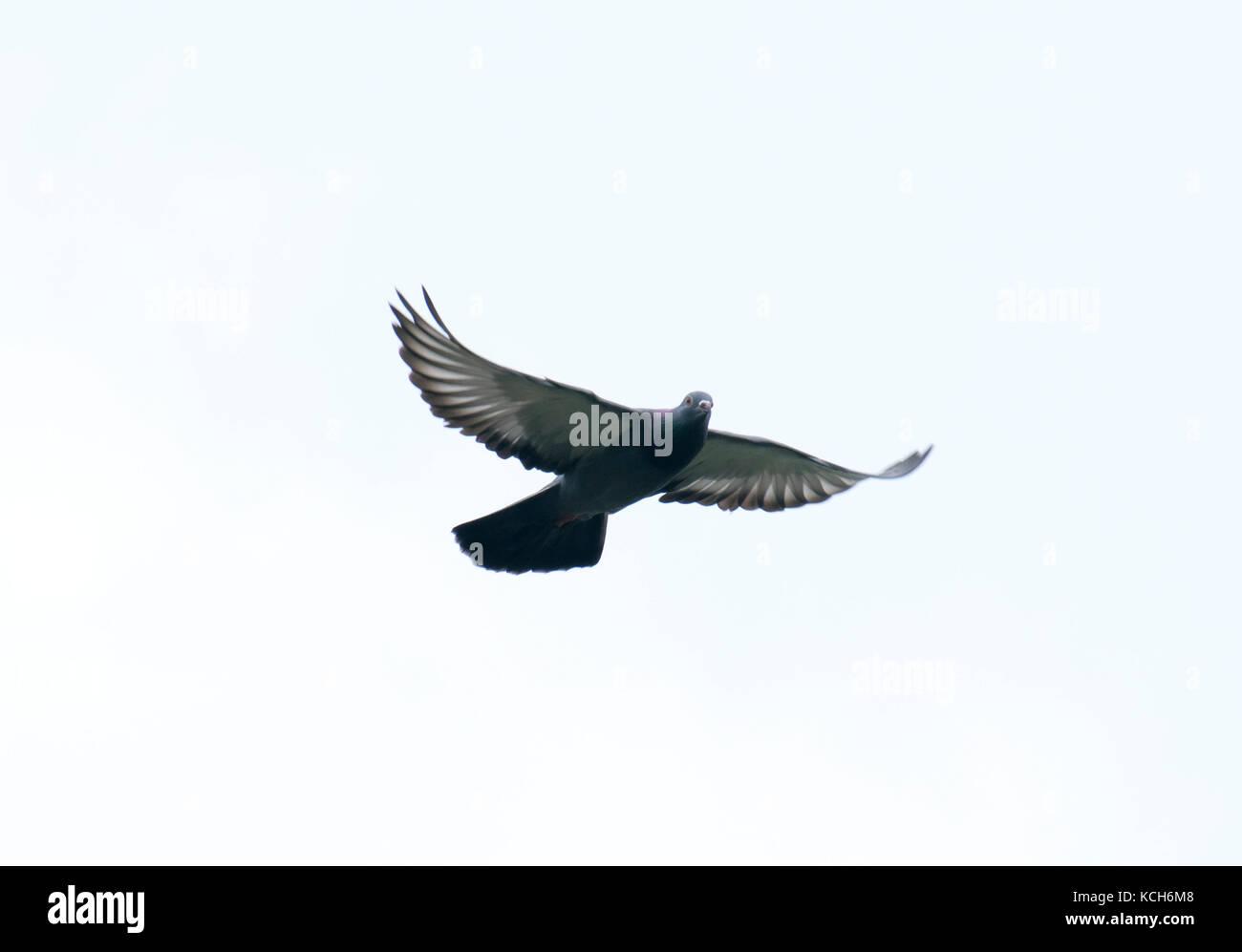 Taube fliegen in den Himmel mit Full Speed Racing Spiel Sport zurück ...
